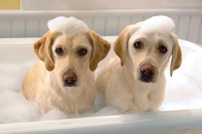 Best Flea Shampoo for Dogs